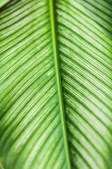 Dumb Cane leaf in garden, background