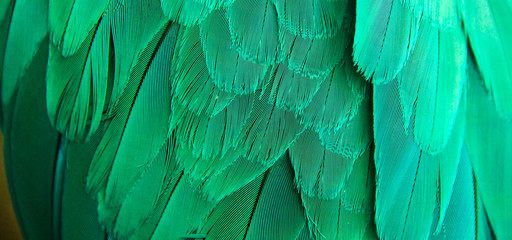 Green of Macaw feather