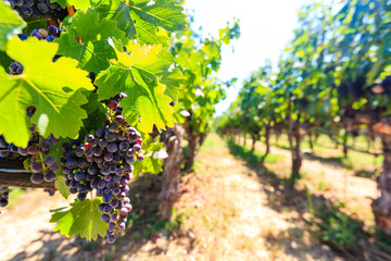 Bunches of red wine grapes hanging around Fototapete