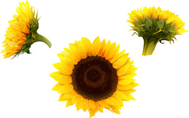 set of 3 isolated sunflowers in realistic style