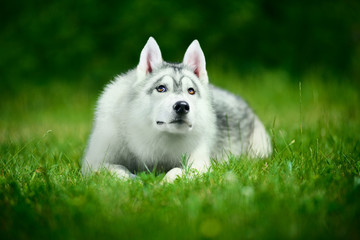 Cute siberian husky lying on green grass