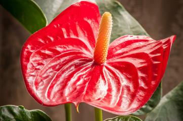 Cerca immagini reciso for Anthurium rosso