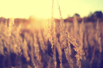 Autumn dry field grass strands