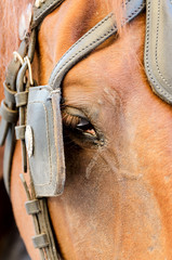Brown horse head close up