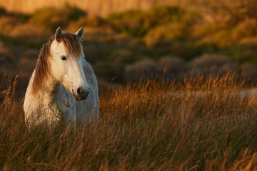 White horse of Camargue