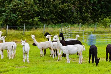 Llamas on farm in Norway