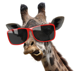 Wall Murals Giraffe Funny fashion portrait of a giraffe with hipster sunglasses