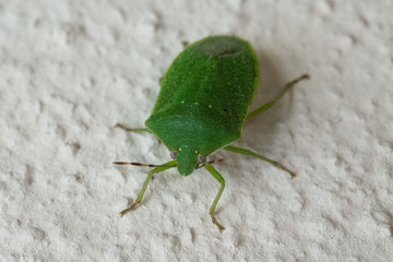 Cimice verde sul muro
