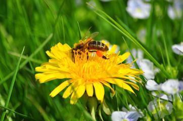 A bee on dandelion