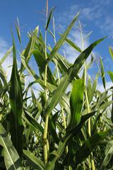 Corn Stalks and Blue sky