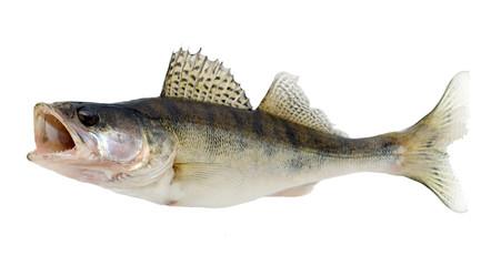 Printed kitchen splashbacks Fishing fish