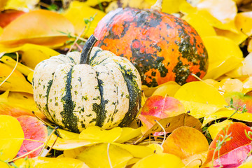 Two pumpkins on autumn leaves