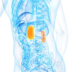 medical 3d illustration of the kidneys