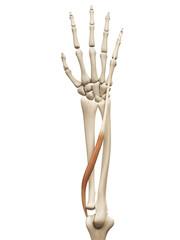 muscle anatomy - the extensor digiti minimi