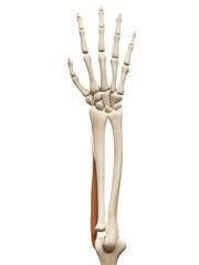 muscle anatomy - the extensor carpi radialis longus