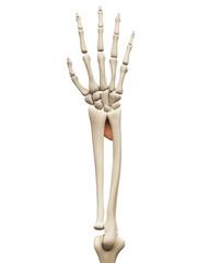 muscle anatomy - the pronator quadratus