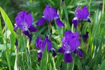 Purple iris flower in the garden.