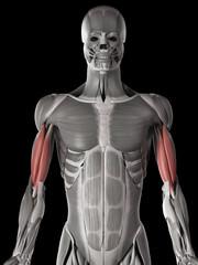 human muscle anatomy - biceps brachii