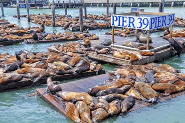 Photo sur Plexiglas San Francisco Sea lions on pier 39 in San Francisco, USA.