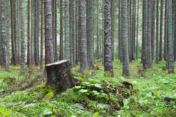stump in the coniferous forest