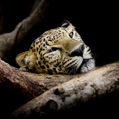 close up sleepy Leopard Portrait