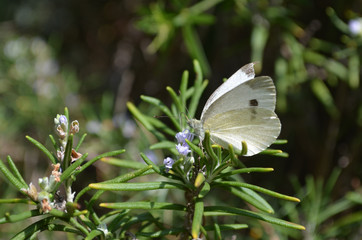 White butterfly on rosemary