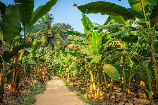 Rural landscape common road through banana plantation in India