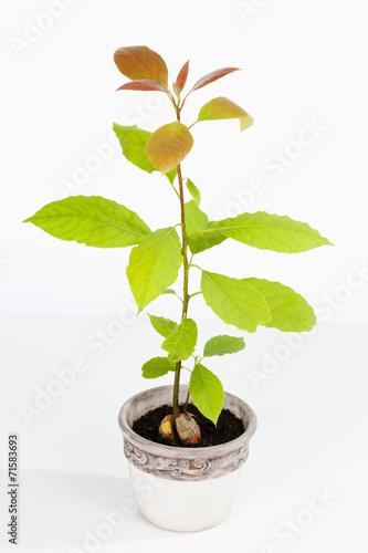 avocado setzling persea americana junge pflanze. Black Bedroom Furniture Sets. Home Design Ideas