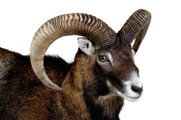 Mouflon - Wild Sheep - Urial