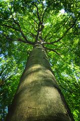Tree trunk beech