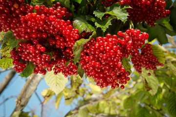 viburnum bush. red snowball Tree on branch outdoors