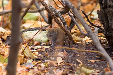 Small mouse Microtus vole in the forest