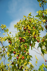 Jujube fruits ripened on the tree.м