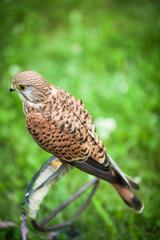 Common Kestrel - Falco tinnunculus