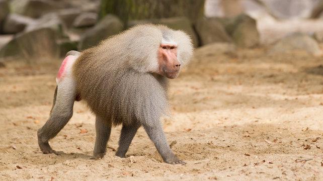 male hamadryas baboon