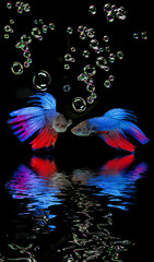 Betta splendens - siamese fighting fish on a black background