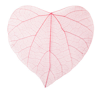 Transparent heart shaped leaves
