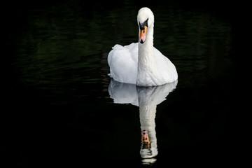 Fotoväggar - Mute Swan