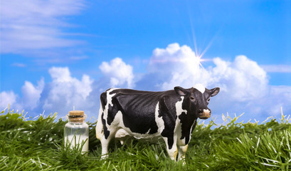 Holstein cow in the field