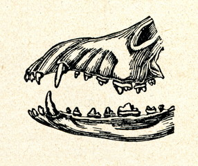 Jaws of predatory animal (dog)