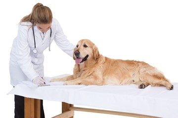 Vet checking a labrador