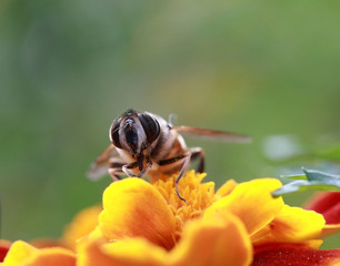 bee photographed close-up on Marigolds