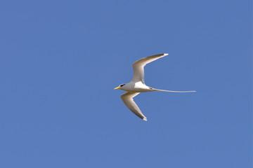 paille-en-queue, oiseau, Réunion
