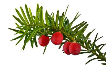 Fototapeta Zielona gałązka cisu z czerwonymi owocami na białym tle obraz