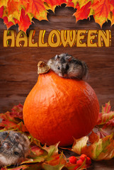 two hamsters in autumn scenery for halloween