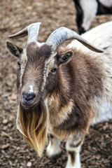 Cute Bearded Goat With Horns
