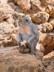 Monkey eating bread in national park.