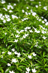 close up asian white flower in garden