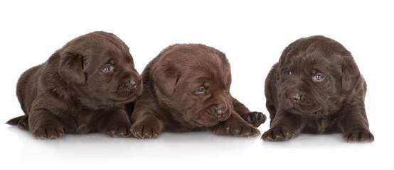 three beautiful labrador retriever puppies