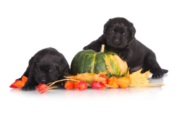two black puppies with a pumpkin